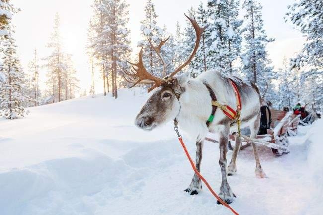 reindeer-finnish-lapland